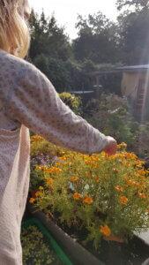 Blick in den morgendlichen Sonnenschein im Garten. Kind fasst in blühende orangene Gewürztagetes und erfreut sich am unwiderstehlichen Duft nach Orange.